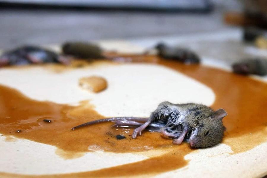 Praga de ratos ameaça agricultura e saúde pública da região