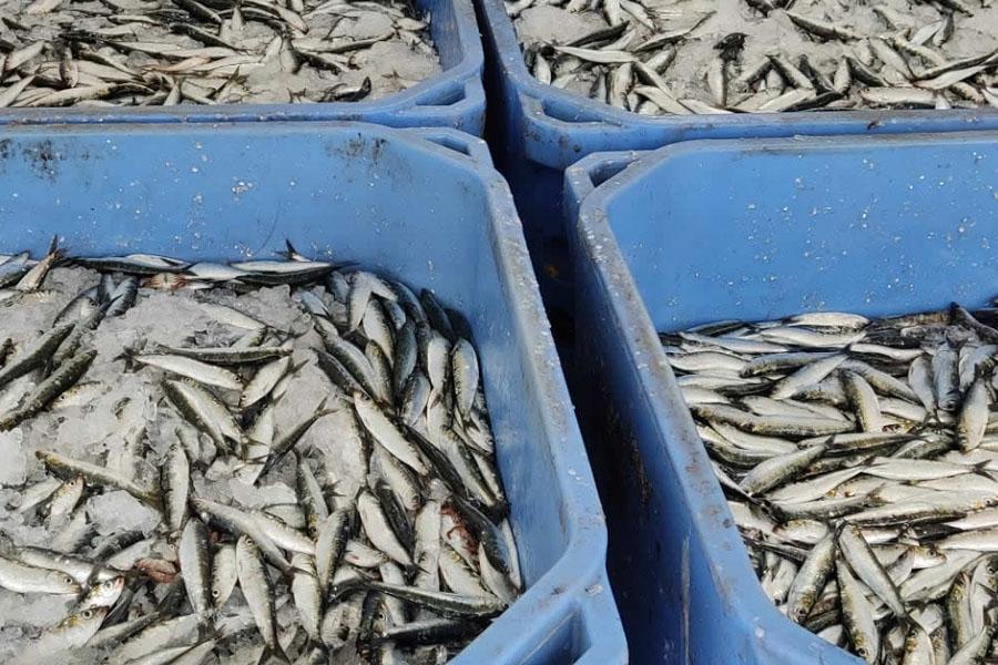 Aveiro: GNR apreende e doa 540 Kg de sardinha subdimensionada